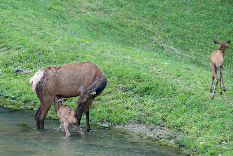 Elk at the West Virginia Wildlife Center.........................................Prints or digital files can be purchased by e mailing DFriend150@gmail.com