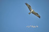 Osprey flying ,                               Prints or digital files can be purchased by e mailing DFriend150@gmail.com