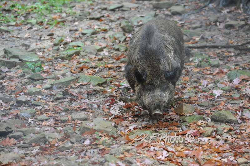 Wild boar................................Prints or digital files can be purchased by e mailing DFriend150@gmail.com