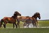 Stallions doing macho stuff