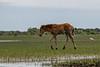 Baby horse walking across marsh