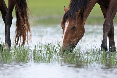 These wild horses can only be reached by boat, where they have free run of the main area of Rachel Carson Reserve, made up of Town Marsh, Carrot Island, Bird Shoal and Horse Island.
