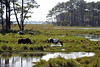 Wild hourses of Assateague.....................................................Prints or digital files can be purchased by e mailing DFriend150@gmail.com