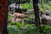 Young mule deer feeding