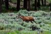 Mule deer walking through field