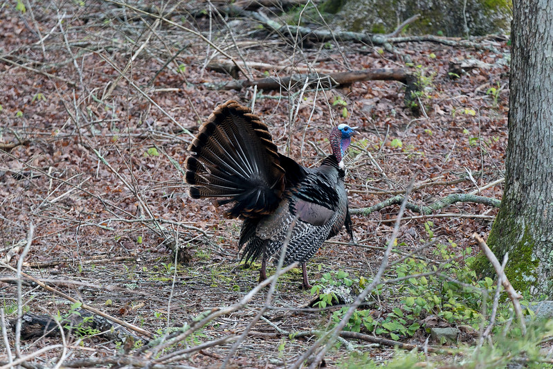Turkey in woods