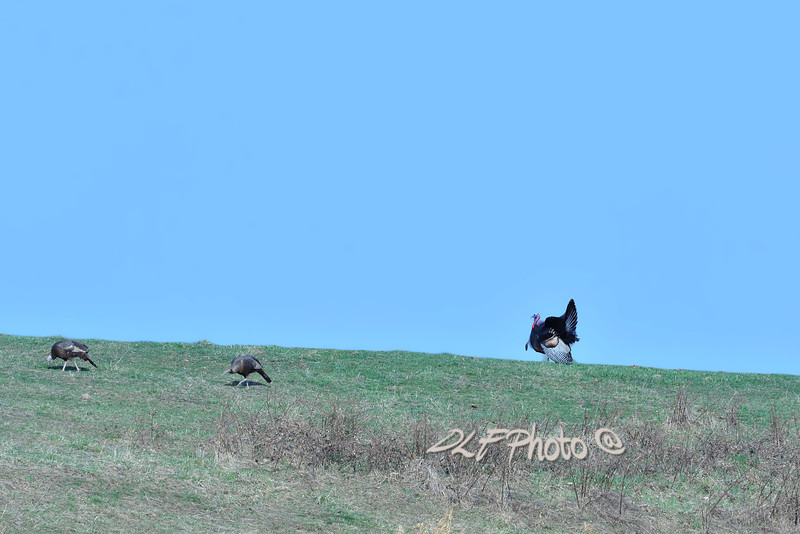 Wild turkey in field .                                                 Prints or digital files can be purchased by e mailing DFriend150@gmail.com
