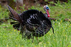 Wild turkey goobler in a fiield