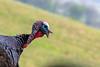 Close up of wild turkey