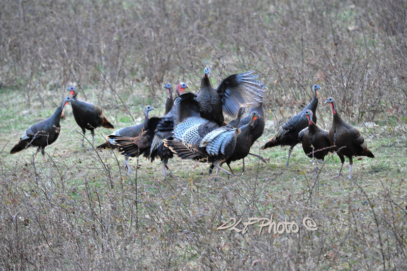 Wild turkey .                                                 Prints or digital files can be purchased by e mailing DFriend150@gmail.com