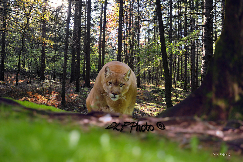 mountain lion - animals that use to roam Appalachian mountains, mountian lion Animals that use to roam the Appalachian Mountains .               Prints or digital files can be purchased by e mailing DFriend150@gmail.com