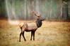 "Majestic bull elk in field<br /> to purchase - <a href=""http://bit.ly/XnFgP"">http://bit.ly/XnFgP</a>           .................................................................pixel paintography"