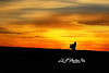 "Silhouette wild turkey in field at sunset<br /> <br /> to purchase - <a href=""http://dan-friend.artistwebsites.com/featured/silhouette-wild-turkey-dan-friend.html"">http://dan-friend.artistwebsites.com/featured/silhouette-wild-turkey-dan-friend.html</a>           .................................................................pixel paintography"