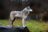 Profile of timber wolf - paintography