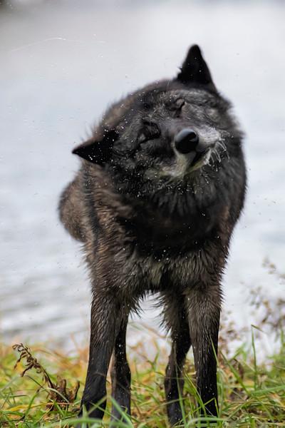 Black grey wolf shaking himself dry