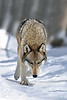 Walking in the snow..........North American gray wolf.............................................Prints or digital files can be purchased by e mailing DFriend150@gmail.com