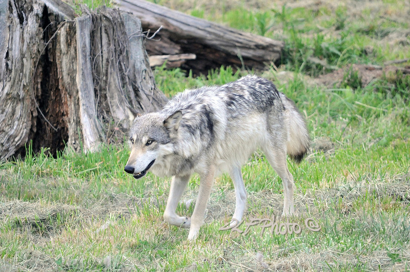 Prints or digital files can be purchased by e mailing DFriend150@gmail.com North American gray wolf.............................................Prints or digital files can be purchased by e mailing DFriend150@gmail.com