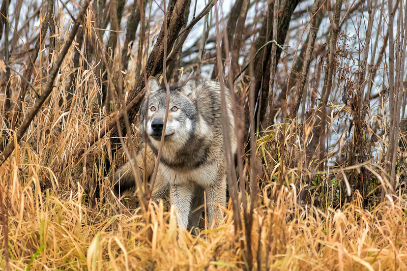 Wolf looking in the brush looking up