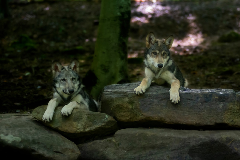 Two wolves at attention and at alert