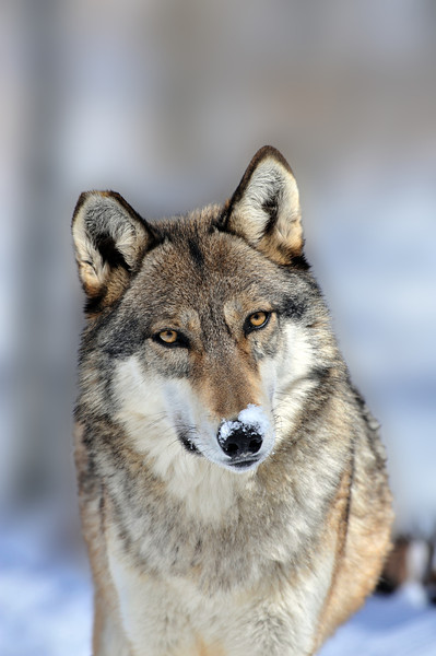 Wolf with snow on his nose