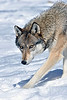 North American gray wolf.............................................Prints or digital files can be purchased by e mailing DFriend150@gmail.com