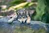 Young wolf tuckered out and laying head on rock