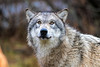 Timber wolf with yellow eyes