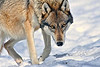 Wolf creeping up...... North American gray wolf.............................................Prints or digital files can be purchased by e mailing DFriend150@gmail.com