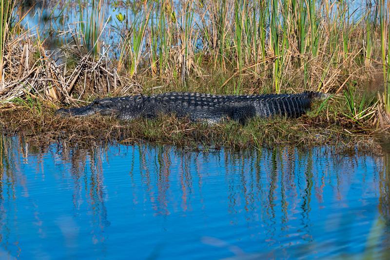 Alligator sunning himself in marsh Everglades