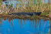 Alligator sunning himself in marsh Everglades