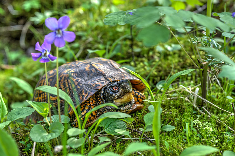 Box turtle in grass...........to purchase print or digital file e mail DFriend150@gmail.com