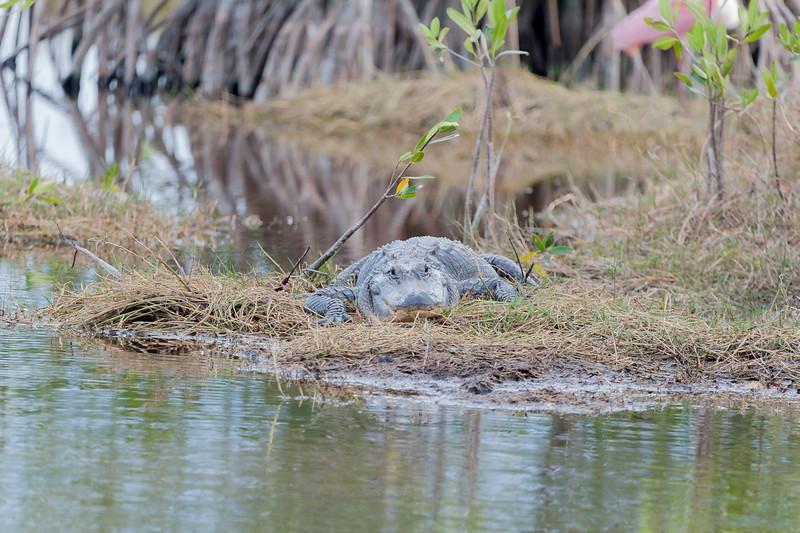 Alligator resting on the bank