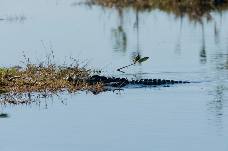 Alligator in water or near water