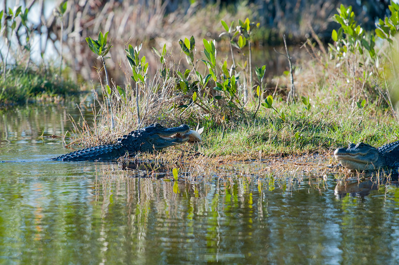 Alligator in water or near water feeding on a fish he caught