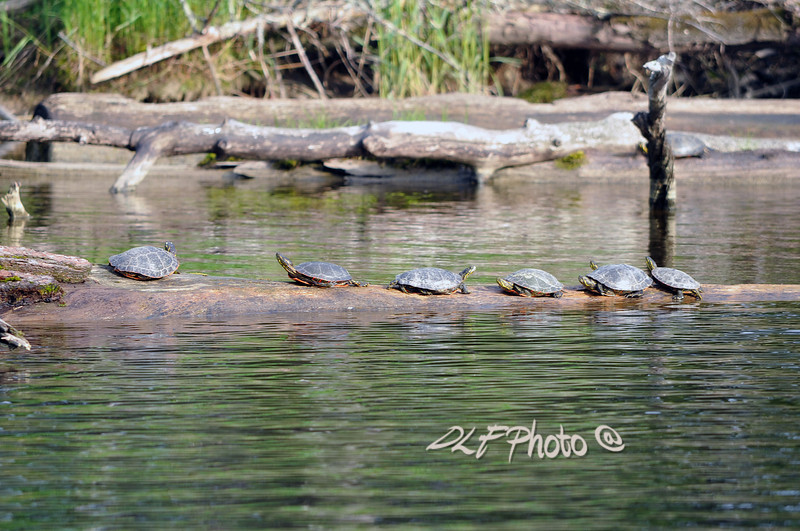 Red-eared Slider turtles on log...............................Prints or digital files can be purchased by e mailing DFriend150@gmail.com