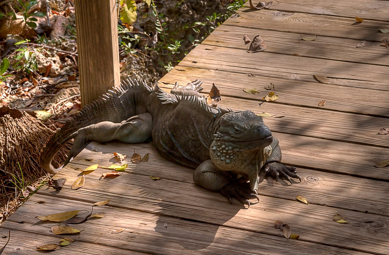 Large iguana on boardwalk................................................To purchase digital file or purchase print e mail - DFriend150@gmail.com