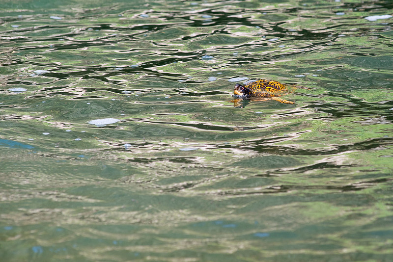 Box turtle in water swimming...........to purchase print or digital file e mail DFriend150@gmail.com