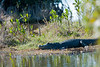 Alligator in water or near water