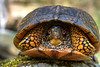 Box turtle looking out of his home...........to purchase print or digital file e mail DFriend150@gmail.com