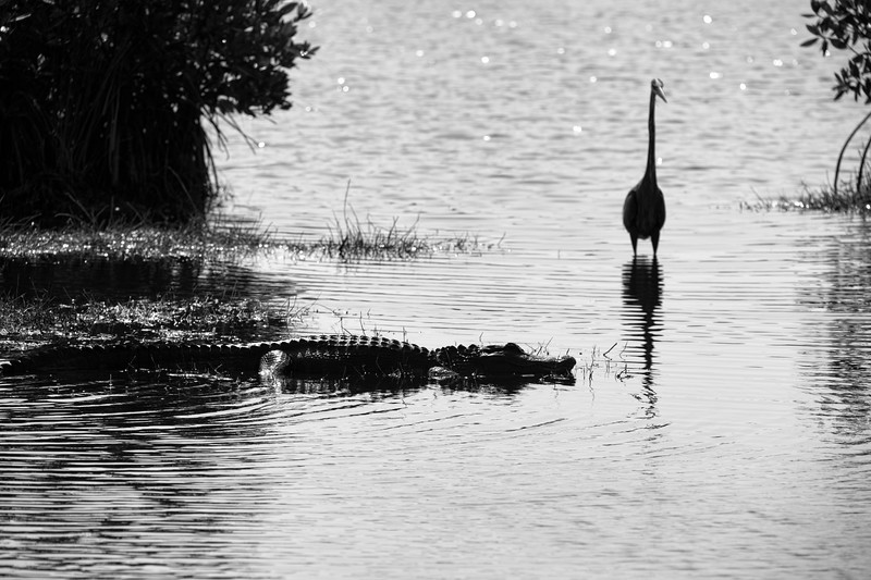 Alligator waiting patiently