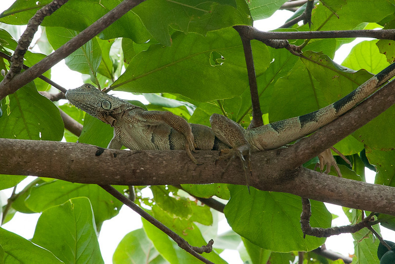 Iguana in tree................................................To purchase digital file or purchase print e mail - DFriend150@gmail.com