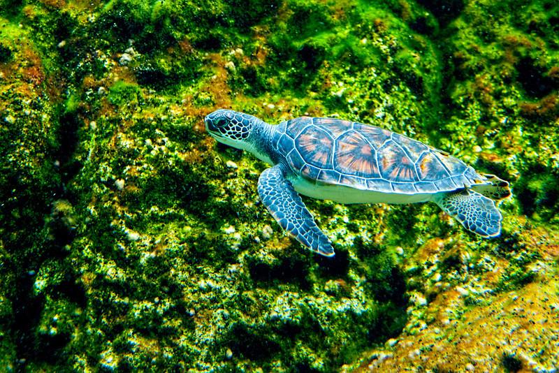 Sea turtle swimming................................................To purchase digital file or purchase print e mail - DFriend150@gmail.com