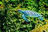 Sea turtle swimming................................................To purchase digital file or purchase print e mail - DFriend150@gmail.com