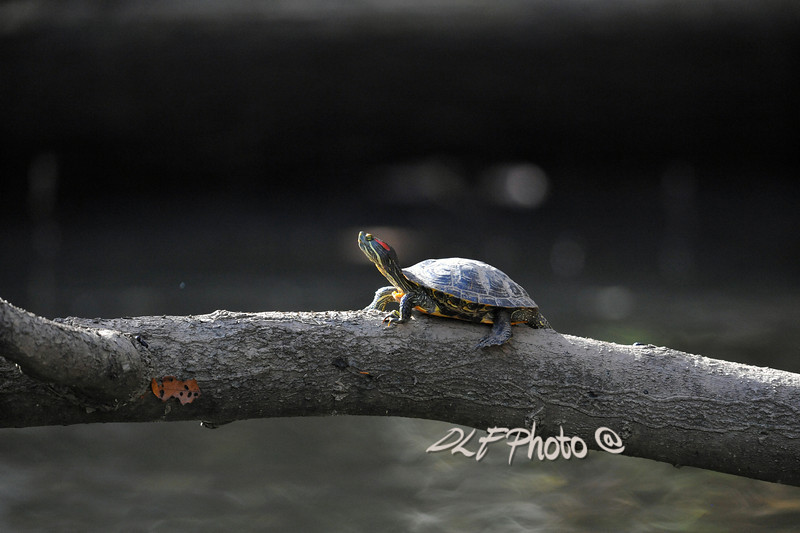 Red-eared Slider turtle on log..............................Prints or digital files can be purchased by e mailing DFriend150@gmail.com