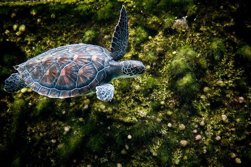 Sea turtle swimming along edge................................................To purchase digital file or purchase print e mail - DFriend150@gmail.com