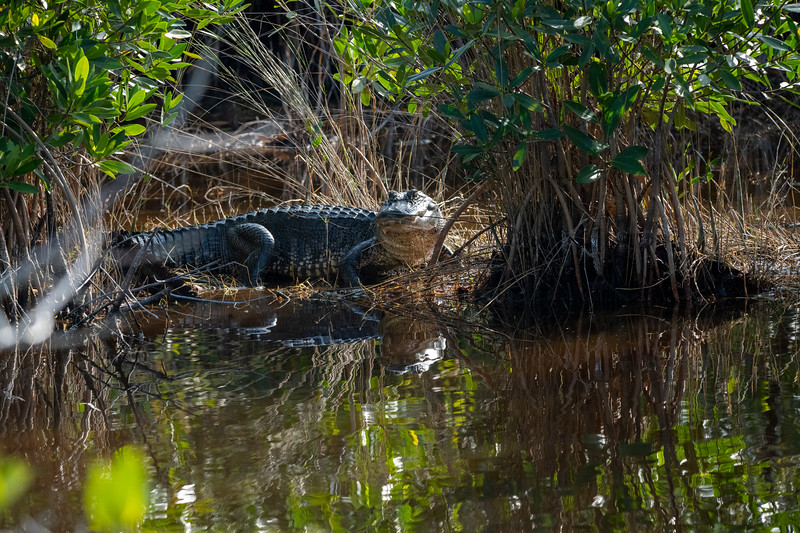 Alligators, like other crocodilians, are large animals with powerful tails that are used both in defense and in swimming. Their eyes, ears, and nostrils are placed on top of their long head and project slightly above the water when the reptiles float at the surface, as they often do