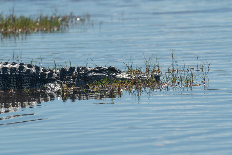 The majority of American alligators inhabit Florida and Louisiana, with over a million alligators in each state. Southern Florida is the only place where both alligators and crocodiles live side by side