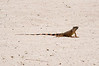 Iguana on the sand................................................To purchase digital file or purchase print e mail - DFriend150@gmail.com