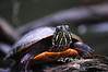 Red-eared Slider turtle on rock...............................Prints or digital files can be purchased by e mailing DFriend150@gmail.com