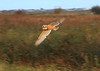 Young Barn Owl on Halvergate Marsh - October 2014